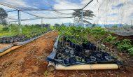 Permalink ke Tanam Sayur di Lahan Kopi, Solusi Dampak Pandemi Ala Petani Semende